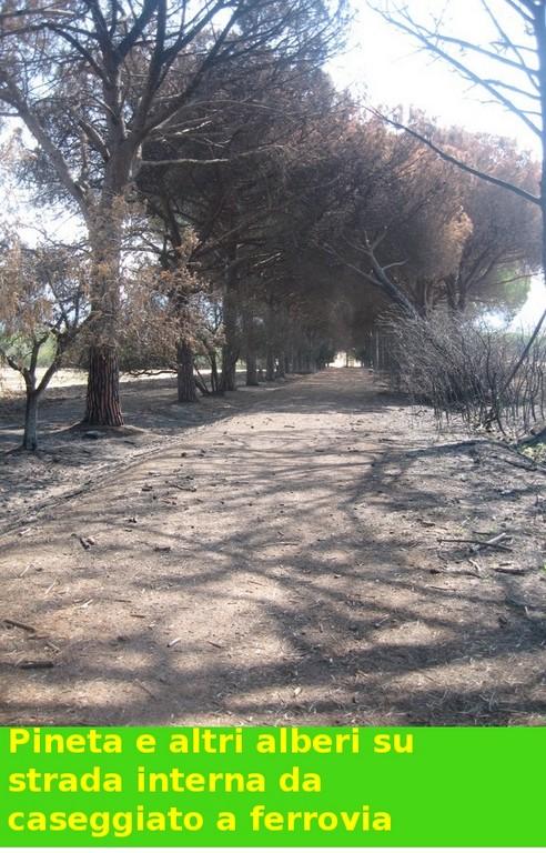 Pineta bruciata lungo il viale principale