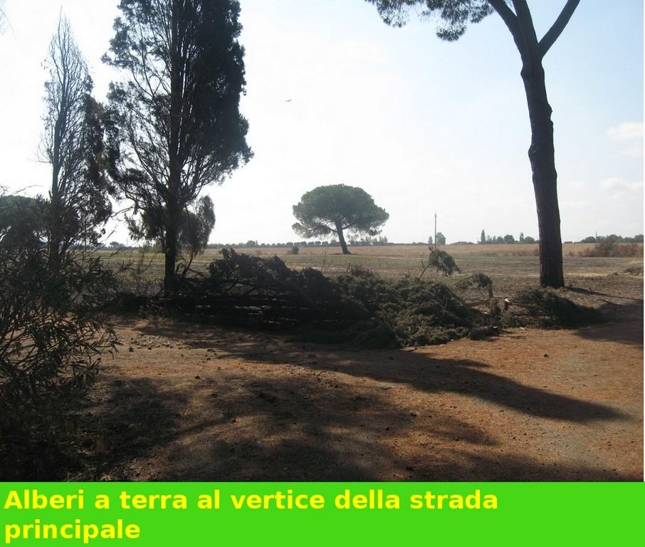 Pineta e altri alberi abbattuti